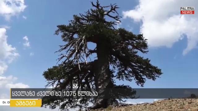 უძველესი ხე, რომელიც 1075 წელს ითვლის